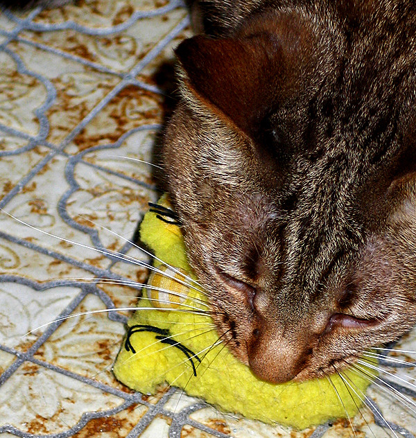 Olivia, a Bengal will trade her favorite toy for food.