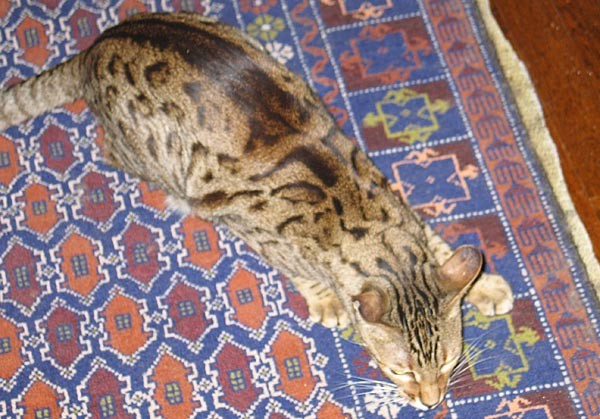 Asia, and early generation Bengal Cat