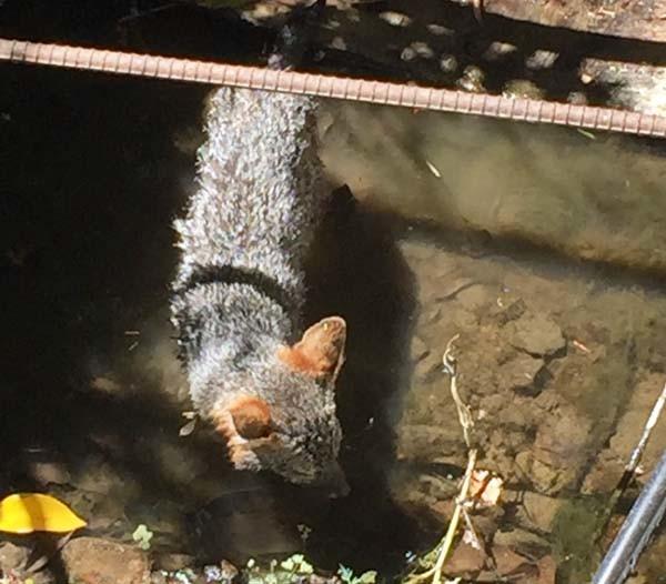 Grey fox below us in the creek. Photo by Marilyn Krieger, CCBC