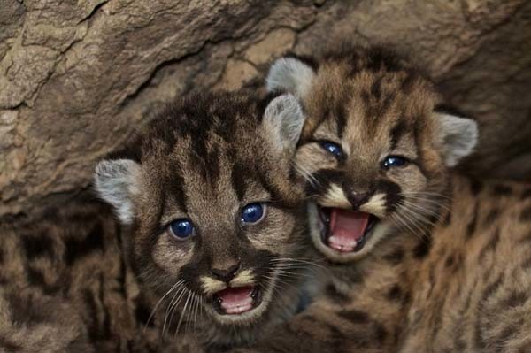 Two mountain lion cubs. Photo by Stock Free Images