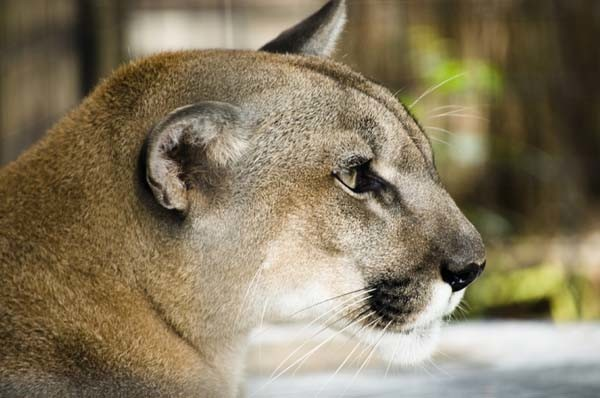 Mountain lions are apex predators. Photo by Stock Free Images