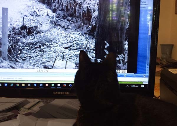 Jinniyha, one of the author's cats checking out the footage--looking for mountain lions
