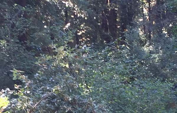 The trail camera is now located in an area with deep brush. Photo by Marilyn Krieger