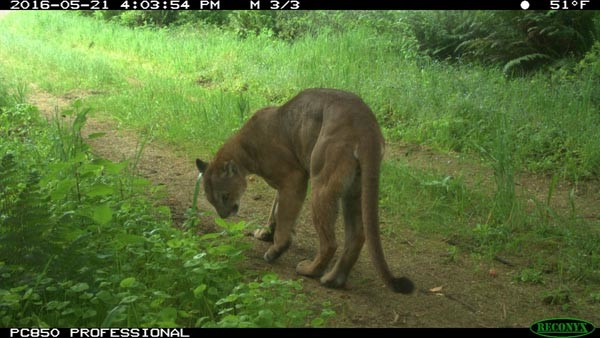 Mountain lion checking for scents