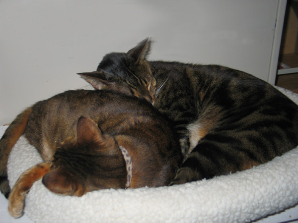 The author's cats cuddling